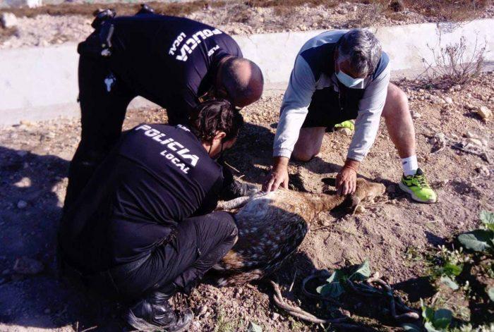 Female fallow deer that had fallen in the 'La Culebrina' fortress in San Fulgencio rescued